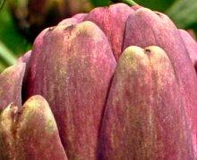 alcachofra-roxa-de-sao-roque-a-especie-mais-consumida-no-brasil