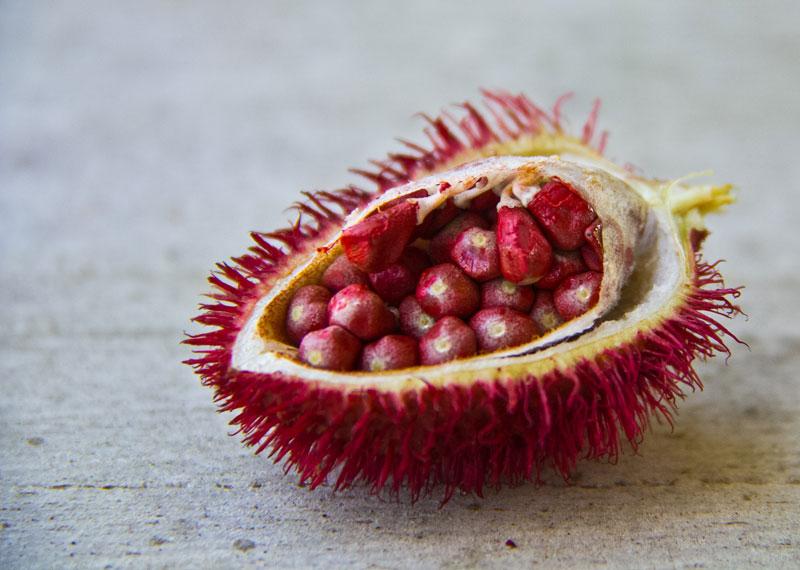 Uru-ku – Palavra tupi que significa vermelho. Nas sementes o urucum traz um pigmento corante e que também protege dos raios solares. Um elemento da natureza muito utilizado pelos índios brasileiros e peruanos.
