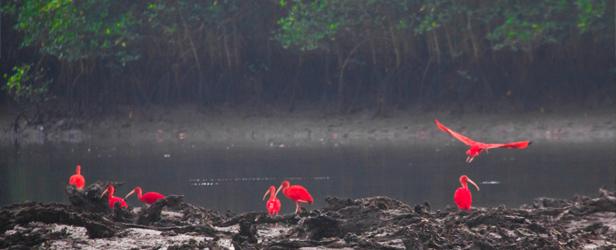 guara-vermelho