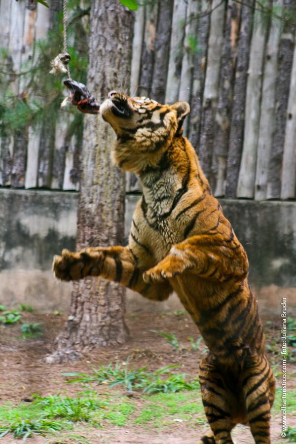 a-alimentaccao-dos-tigres-sao-atracao-a-parte