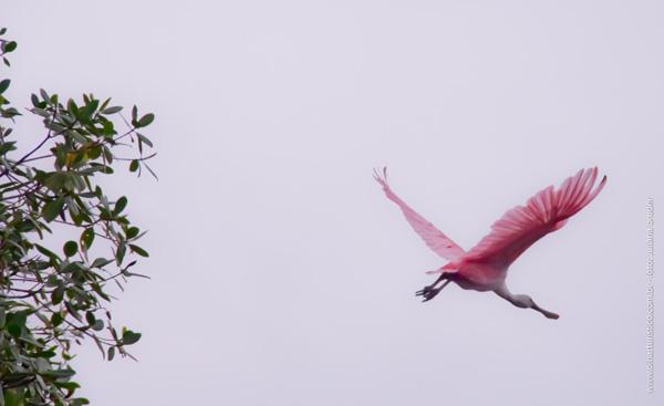 colhereiro-rosa-em-voo
