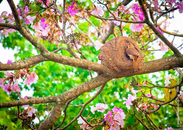 joao-de-barro-fez-seu-ninho-em-cerejeira-agora-em-flor