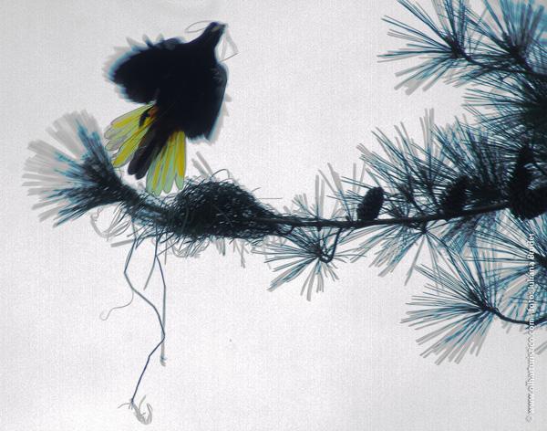 os-pinheiros-sao-arvores-ideais-para-os-ninhos-do-xexeu