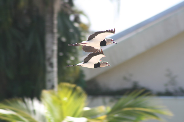 voo-garcioso